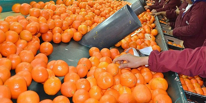 Agrumes: De fortes baisses pour la filière