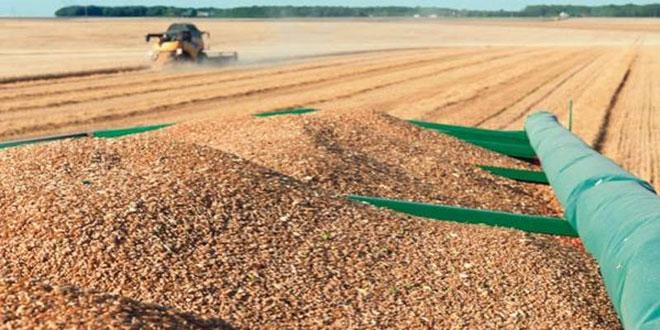 Blé tendre: 1,3 million de quintaux récoltés depuis la mi-mai