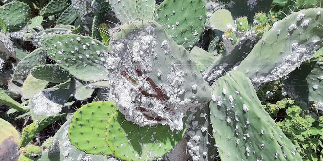 Cactus: La lutte contre la cochenille s'intensifie