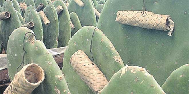 Cochenille du cactus: Le ravage continue