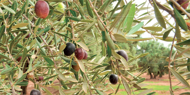 Olives : Production record pour Marrakech-Safi