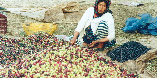 Olives : Tanger-Tétouan-Al Hoceima double sa production