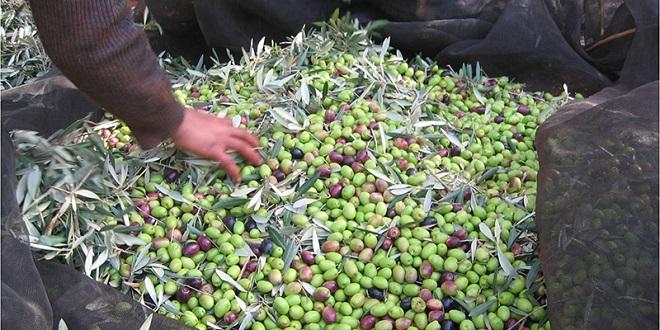 Oléiculture : Une production record prévue au Nord