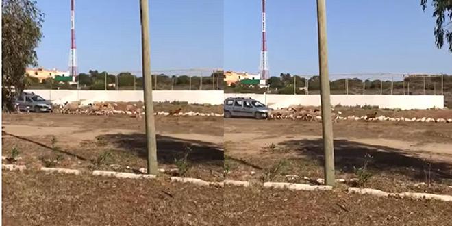 Mansouria: L'homme qui a foncé sur un troupeau de moutons devant la justice