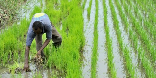 Sénégal : Une concession rizicole accordée à Addoha fait polémique