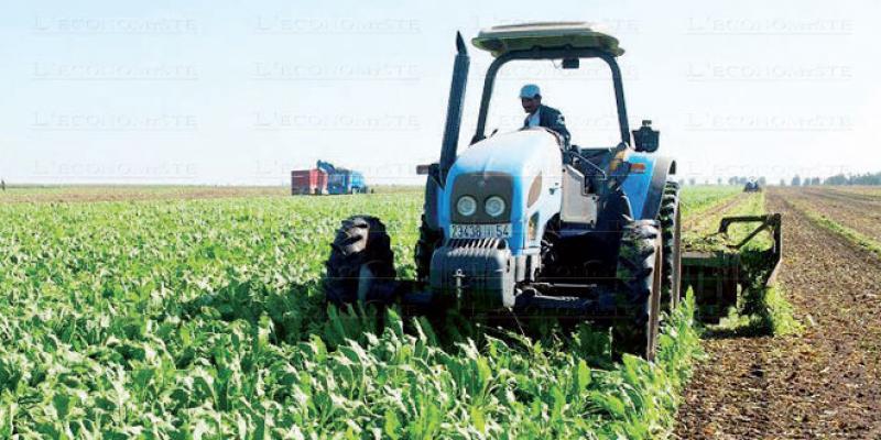 Casablanca-Settat: La betterave à sucre sauve la saison agricole