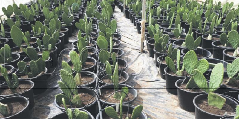 Cochenille du cactus: La recherche agronomique intensifiée