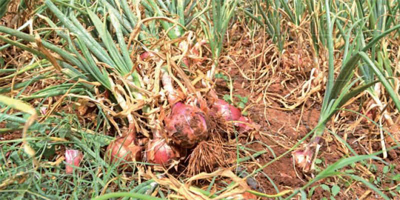Culture de l'oignon: Comment Fès-Meknès est devenue championne