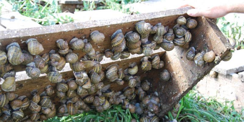 Marrakech se lance dans l'élevage de l'escargot