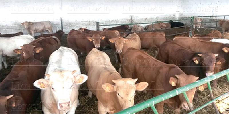 Viandes rouges : L'élevage en bonne santé, mais…