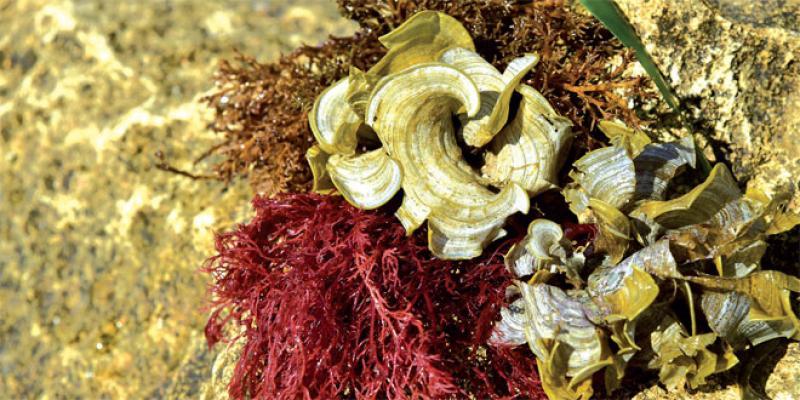 Filière algues: Toute une forêt sous-marine encore inexploitée