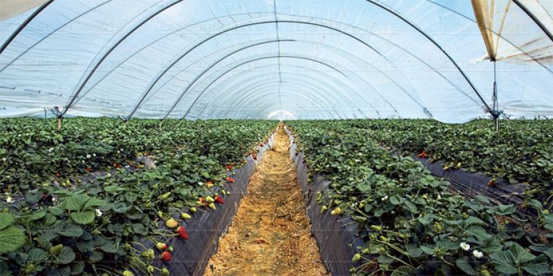 Larache se prépare à la campagne des fraises