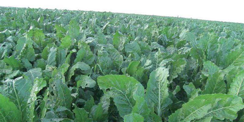 L'irrigation économe, pilier de la «méga-région agricole» des Doukkala