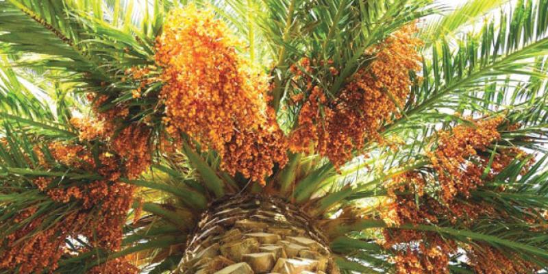 Marrakech: Un projet de palmier dattier reçoit un certificat de qualité international