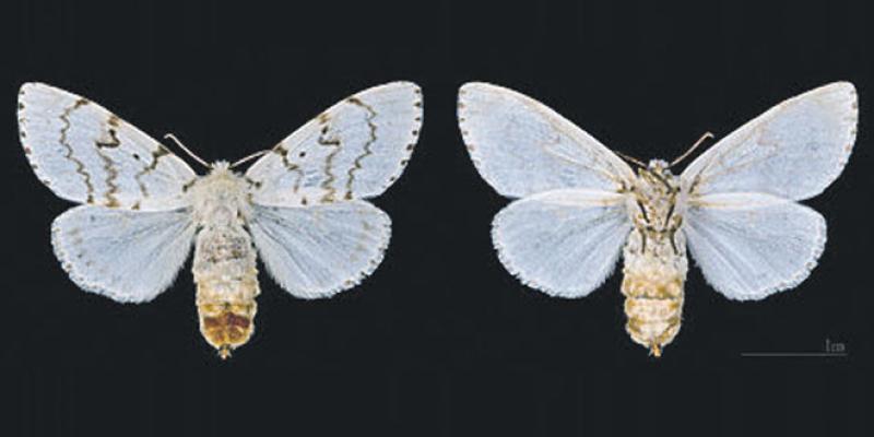 Retour du papillon «mangeur» du chêne-liège