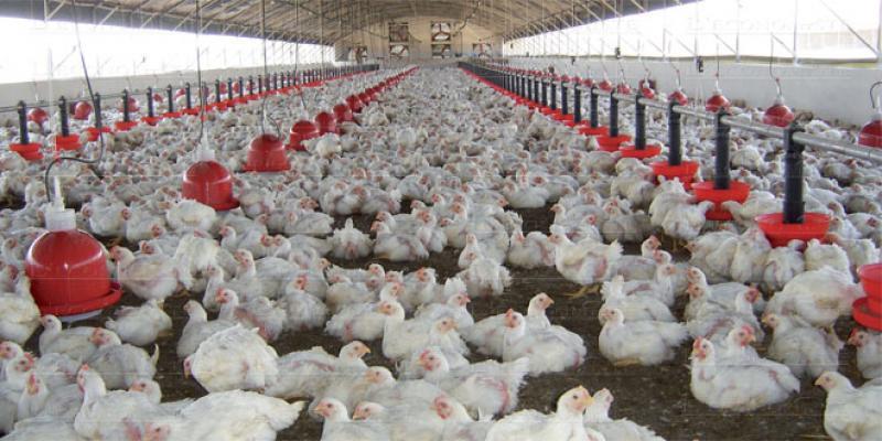 Le poulet de chair malmené par la pandémie