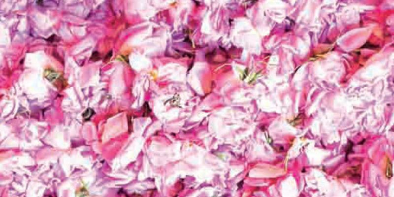 La rose à parfum en phase industrielle