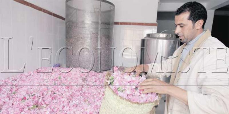 Rose à parfum: Professionnaliser la filière pour contrer la fraude