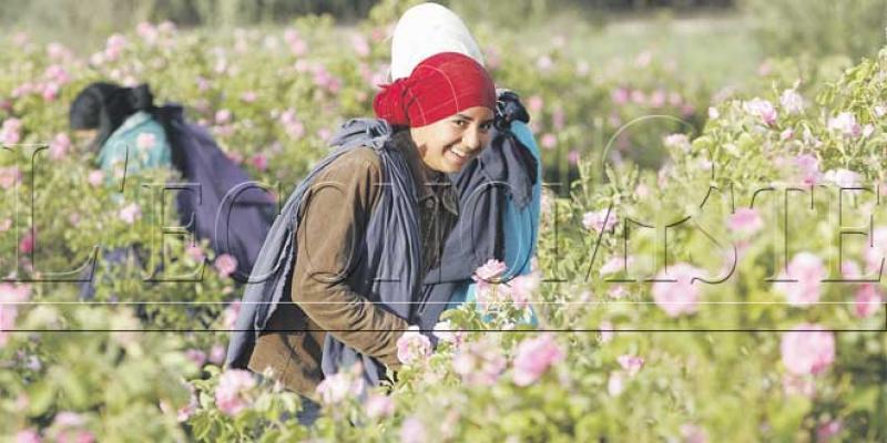 Rose à parfum: Une filière juteuse qui peine à décoller