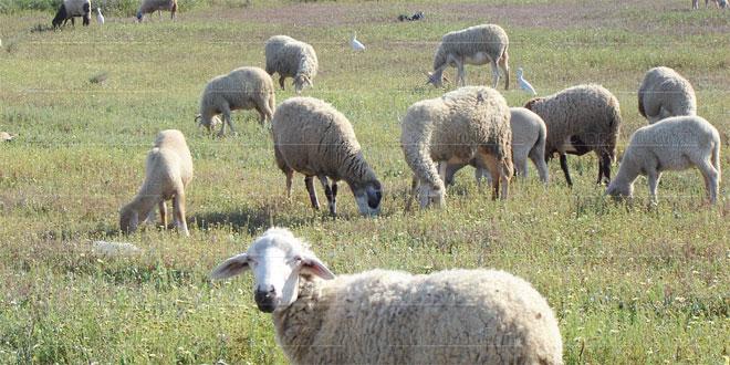 cheptel-moutons-053.jpg
