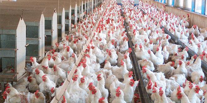 elevage-de-poulets-030.jpg