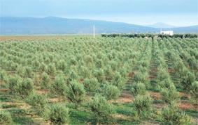 olives_oliviers_015.jpg