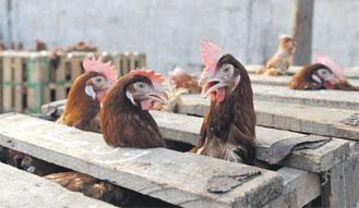poule-092.jpg