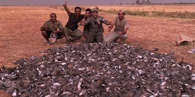 Encore une chasse illégale de tourterelles