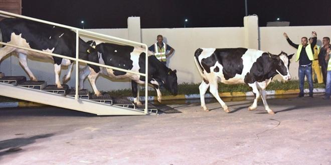 Qatar : Les vaches arrivent par voie aérienne