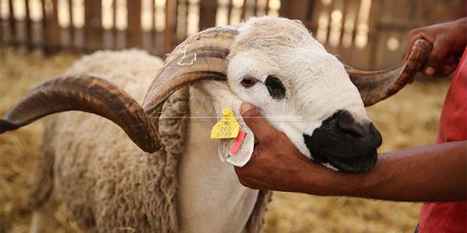 Aïd Al Adha : L'identification des ovins et caprins démarre